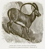 Arabian Ibex, or Beden; the Wild Goat of Scripture