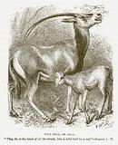 Wild Bull, or Oryx