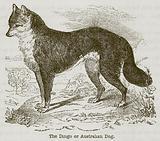 The Dingo or Australian Dog