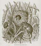 The Nest of the Harvest Mice