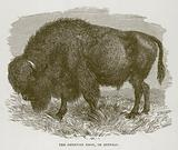 The American Bison, or Buffalo