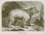 The Syrian Bear