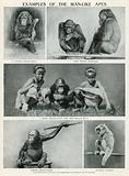 Examples of the Man-Like Apes