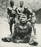 A Gorilla Shot in German West Africa