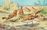 Desert Finches and Desert Larks