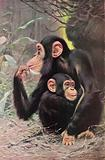The Man-Like Apes Chimpanzee and Young