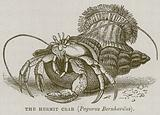 The Hermit Crab (Pagurus Bernhardus)