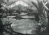 Kew Gardens, the Gigantic Victoria Regina in the Tropical House