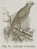 Lizard Canary