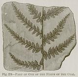 Part of One of the Ferns of the Coal