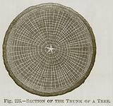 Section of the Trunk of a Tree