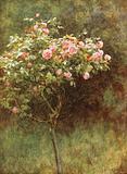 Study of a Rose Bush