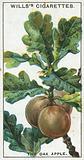 The Oak Apple