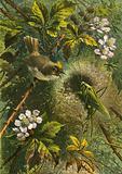 Golden crested wren and grasshopper