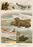 Walrus and Seals