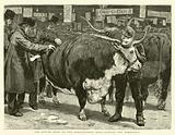 The Cattle Show at the Agricultural Hall, judging the Herefords