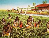 A Sudan cotton field