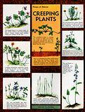 Creeping plants