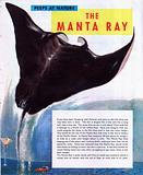 The Manta Ray