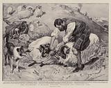 """""""The Peacemaker"""", a Highland Shepherd separating two Combatant Rams"""
