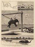 The Belgian African Expedition, disembarking Elephants at Msasani Bay