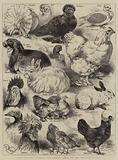 The Poultry, Pigeon, and Rabbit Show at the Crystal Palace