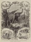 Elephant Hunting in Ceylon