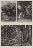 Some Wonderful Trees in Ceylon
