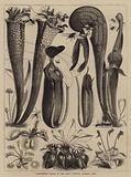 Carnivorous Plants in the Royal Botanic Gardens, Kew