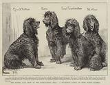 The Kennel Club Show at the Agricultural Hall, a Successful Family of Irish Water-Spaniels