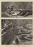Sketches from India, the Sacred Alligators at Muggur Talao, Scinde