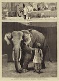 "Mr Barnum's White Burmese Elephant ""Toung Taloung"""