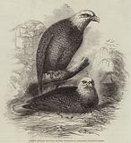 White-Headed Eagles, at the Zoological Gardens, Regent's Park