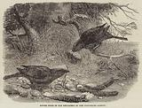 Bower Birds in the Menagerie of the Zoological Society