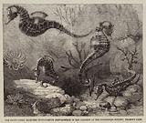 The Short-Nosed Seahorse (Hippocampus Brevirostris) in the Gardens of the Zoological Society, Regent's Park