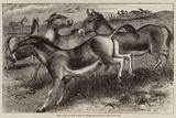 The Kiang, or Wild Horse of Thibet, Equus Kiang