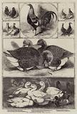 The Birmingham Poultry Show