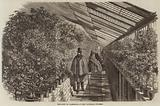 The Show of Camellias at the Vauxhall Nursery
