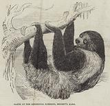 Sloth at the Zoological Gardens, Regent's Park