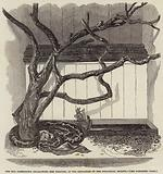 The Boa Constrictor swallowing the Wrapper, in the Menagerie of the Zoological Society