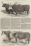 Smithfield Club Prize Cattle