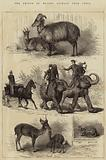 The Prince of Wales's Animals from India