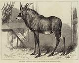 The Equine Antelope of Nubia, in the Gardens of the Zoological Society