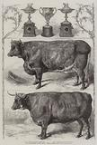 The Smithfield Club Cattle Show, Prize Cattle and Cups