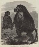 The Gelada Monkeys at the Alexandra Palace