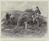 Studies from Life at the Zoological Gardens, the Red Kangaroo