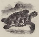 The Hawksbill Turtle (Chelonia imbricata)