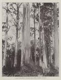 A Giant Karri-Tree in Denmark Hills Forest, Western Australia