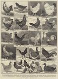 The Poultry Show at the Crystal Palace