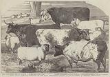 Prize Cattle, from the Exhibition of the Royal Agricultural Society, at Lincoln